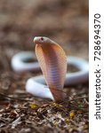 Small photo of Albino spectacled cobra