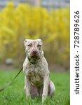 puppy pit bull terrier 6 months ... | Shutterstock . vector #728789626