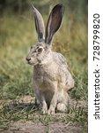 Stock photo a grey hare in the california bush 728799820