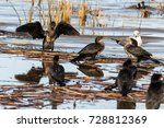 A Group Of Reed Cormorants And...