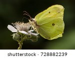 Portrait Of A Common Brimstone...