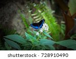 Stock photo black blue and white butterfly is sitting on the leaf and white flowers in australian butterfly 728910490