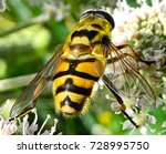 hover fly on a flower    ... | Shutterstock . vector #728995750