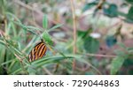 A Tiger Mimic Queen Butterfly...