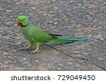 Small photo of Rose-ringed parakeet. A gregarious tropical Afro-Asian parakeet species