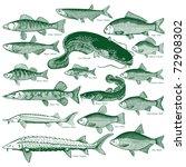 types freshwater fish. ... | Shutterstock .eps vector #72908302