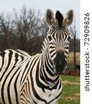 Zebra Poses For A Portrait