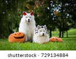 Two dogs with halloween pumpkins. Two samoyeds and pumpkins.