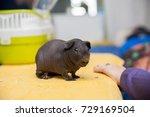 bald guinea pig | Shutterstock . vector #729169504
