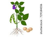 Soybean Plant On A White...