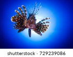 Portrait of the lionfish ...