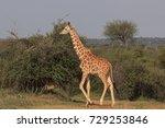 reticulated giraffe | Shutterstock . vector #729253846