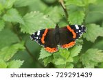 A Pretty Red Admiral Butterfly  ...