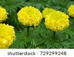 marigold flowers in the garden. | Shutterstock . vector #729299248