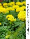marigold flowers in the garden. | Shutterstock . vector #729299254