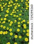 marigold flowers in the garden. | Shutterstock . vector #729299260