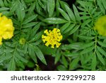 marigold flowers grow in the... | Shutterstock . vector #729299278