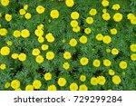 marigold flowers in the garden. | Shutterstock . vector #729299284