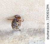 Small photo of Cicada is animal and it can slough off.