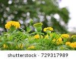 marigold flowers background in... | Shutterstock . vector #729317989
