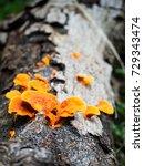Small photo of Orange fungi Mushroom