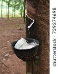 Small photo of Milky latex bowl hanging on rubber tree. Milky latex will send to factory for making commercial product.