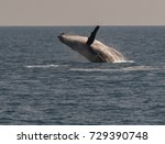 humpback whales displaying...   Shutterstock . vector #729390748