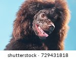 brown grand royal poodle  silly ... | Shutterstock . vector #729431818