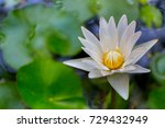 closeup white blooming lotus... | Shutterstock . vector #729432949