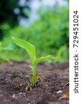 banana plant | Shutterstock . vector #729451024