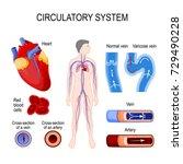 circulatory system  heart ... | Shutterstock .eps vector #729490228