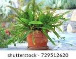 Nephrolepis Plant