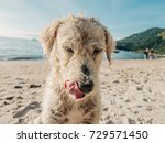 Small photo of Portrait of a beautiful lovely white dog with his tongue out in an Asian beach all wet.