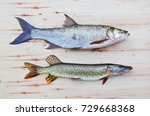 the asp fish   aspius aspius... | Shutterstock . vector #729668368