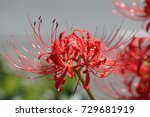 a single lycoris radiata... | Shutterstock . vector #729681919