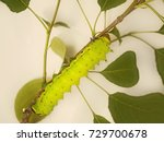 Small photo of A big light yelowish-green caterpillar rests on a branch of a wild pear tree. The caterpillar is a larva of a large beautiful moth with long tails on its wings, Actias selene, or Indian moon moth.