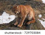 the eurasian lynx  lynx lynx ...   Shutterstock . vector #729703084