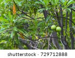 Small photo of apocynaceae Alstonia scholaris or apocynaceae tree