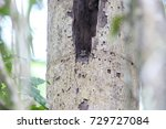 Small photo of Barred owlet-nightjar (Aegotheles bennettii) in Varirata National Park, Papua New Guinea