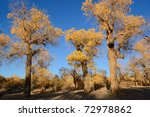 Trees of diversifolia populus in North China - stock photo