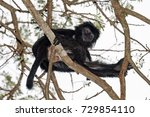 Black Crested Macaque Monkey...
