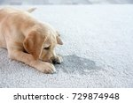 Stock photo cute puppy lying on carpet near wet spot 729874948