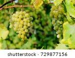 ripe grapes on vine in crimea...   Shutterstock . vector #729877156