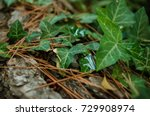 English Ivy In The Forest With...