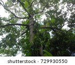 Small photo of Litsea glutinosa.Tree with leaves to make shampoo. The northern part of Thailand.