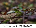 Small photo of An American Dagger moth on the forest floor in North Carolina.