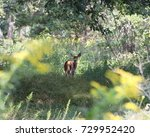 White Tailed Deer Fawn In Rhod...