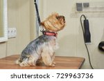 york terrier side view. small... | Shutterstock . vector #729963736