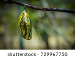 Pretty Chrysalis On A Branch