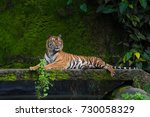 Male Adult Bengal Tiger Restin...